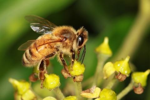 Bees are wonderful pollinators
