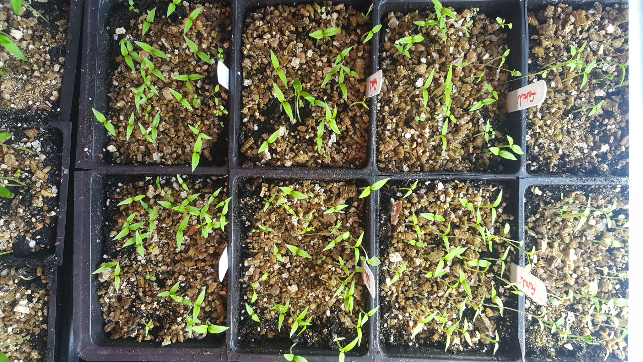 Habanero fatali seedlings