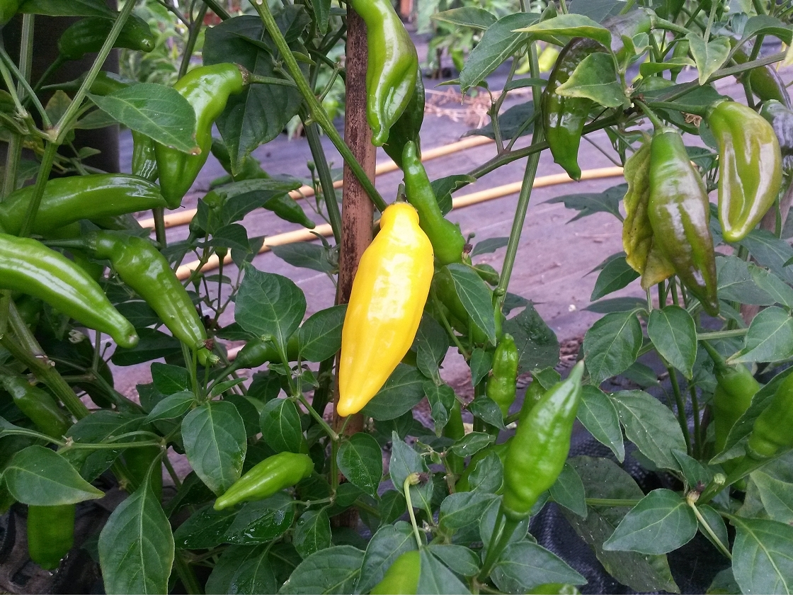 Aji Lemon chillies - great citrus flavour