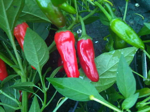Apache chillies