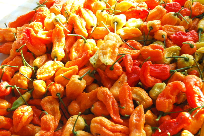 Naga chillies from Dartmoor chilli farm