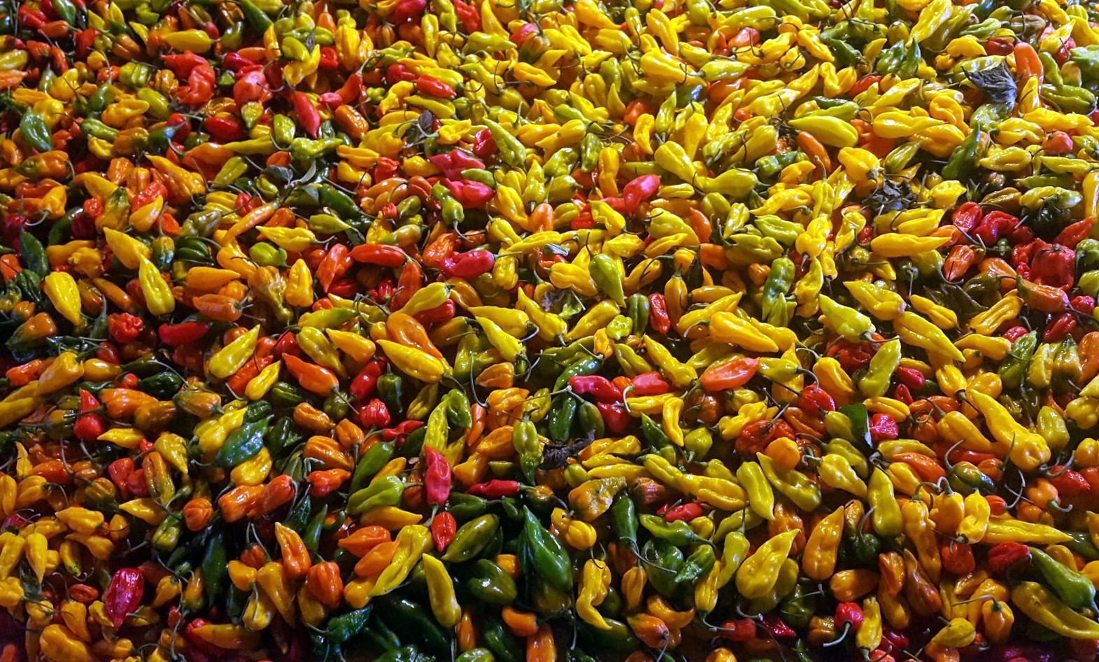 dartmoor chilli farm - crop pics