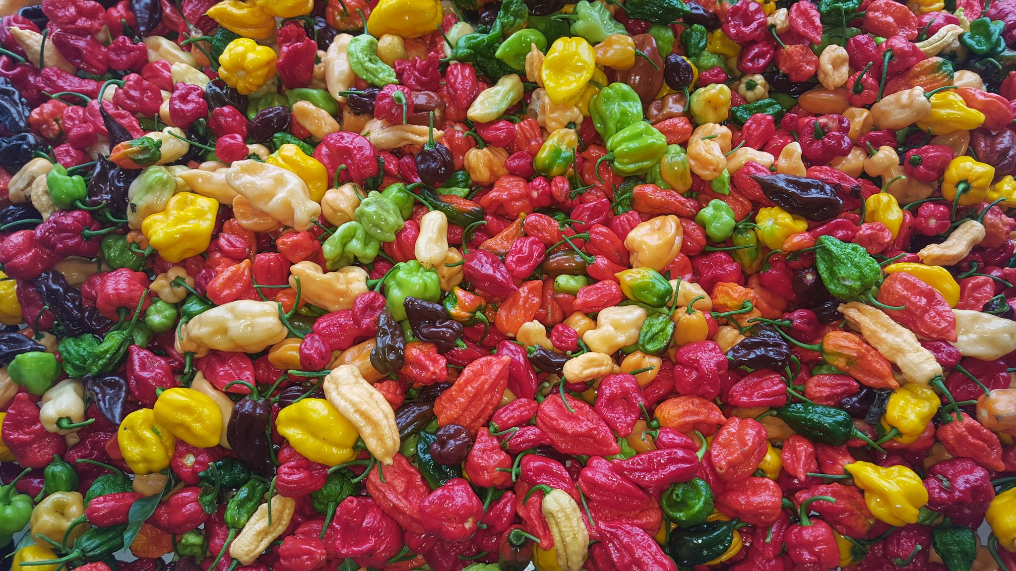 A batch of fresh chillies ready to go into our Destroyer sauce - at Dartmoor chilli farm