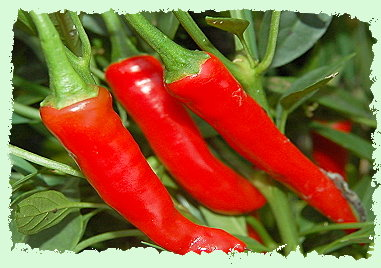 Ring of Fire - Dartmoor chilli farm
