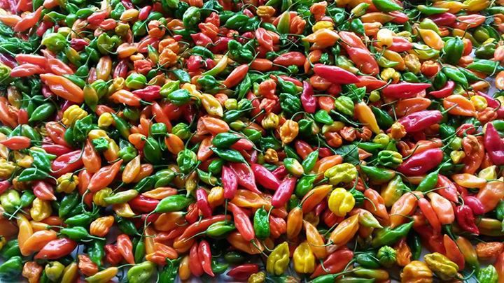 A few more - Dartmoor chilli farm