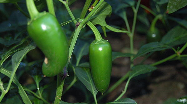 Jalapeno chillies from Dartmoor chilli farm