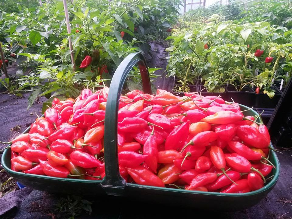 Fresh Paper Lantern pods -  Dartmoor chilli farm