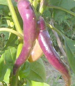 Cayenne Long purple