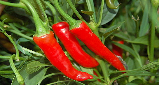 Ring of Fire chillies