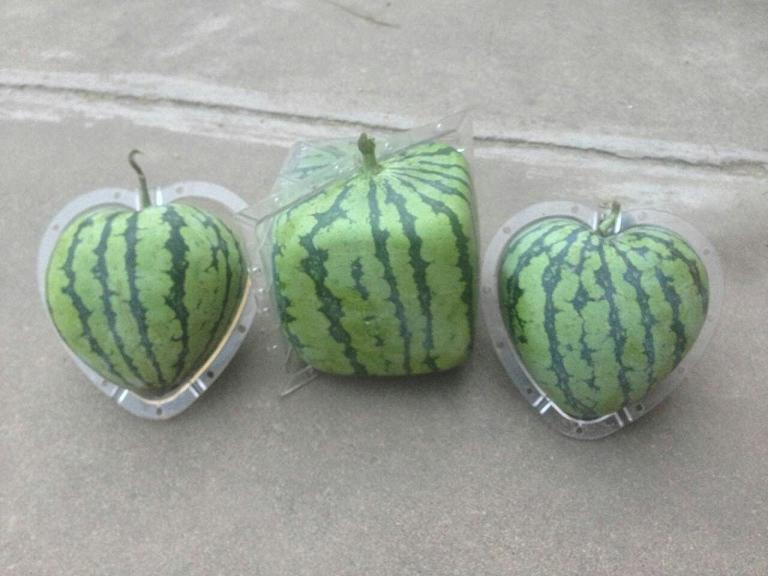 how the square mold shape watermelon into square shape