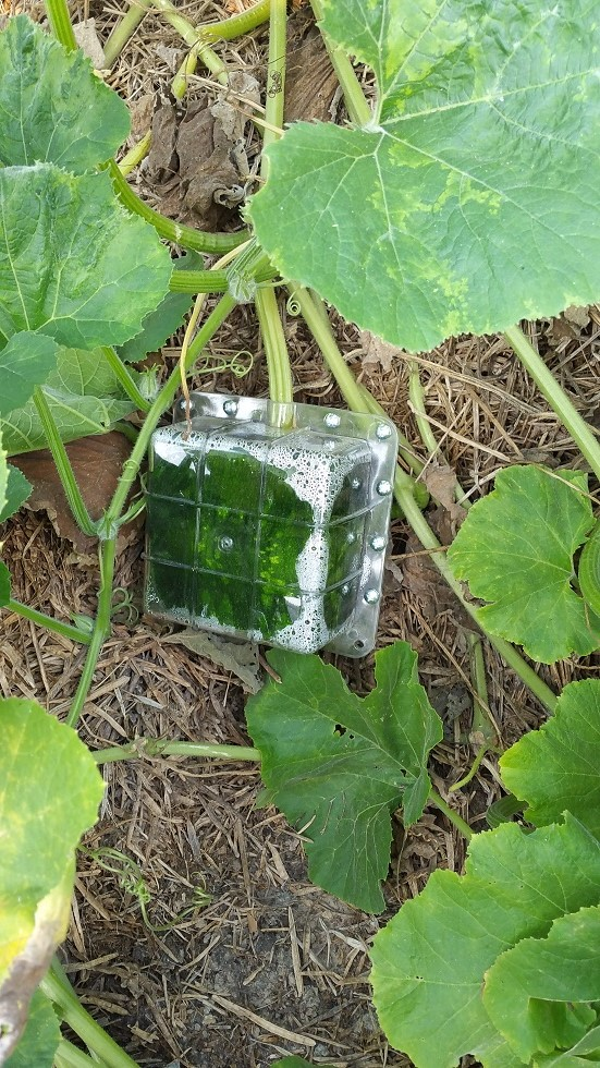how to make square watermelon japan